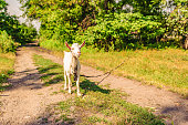 A domestic white kid goat is tied up in a field on a rural road
