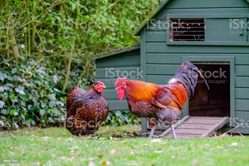 Domesticated bantam chickens seen in a large, rural garden during springtime. stock photo