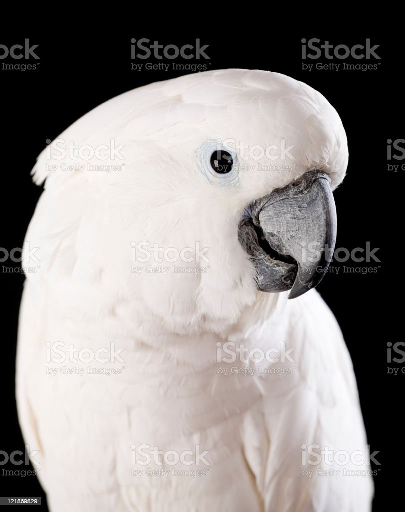 Domesticated Cockatoo royalty-free stock photo