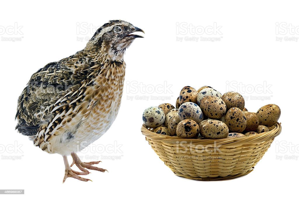 Domesticated quail with basket of eggs royalty-free stock photo