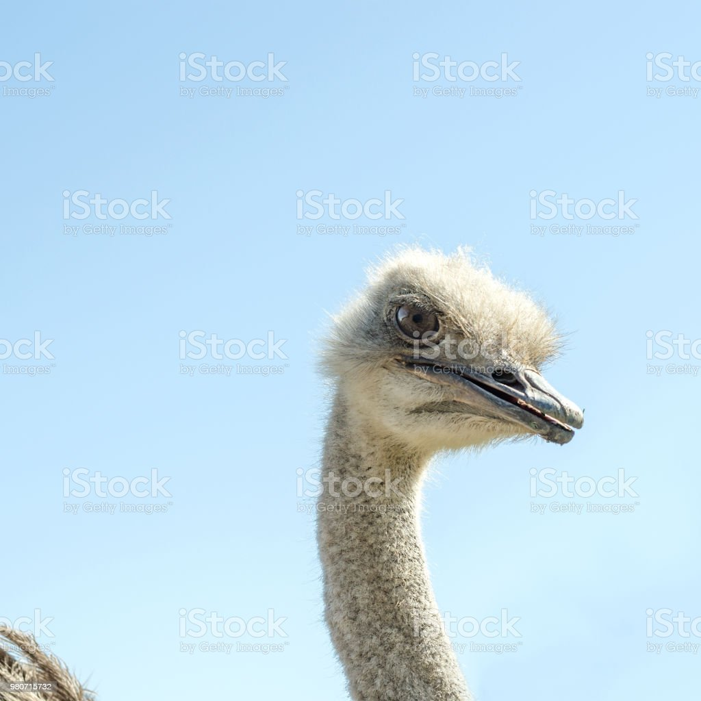 Domesticated wild african ostrich (struthio camelus) in an aviary on a ostrich farm. Against a clear blue sky. Square. With instagram format. stock photo