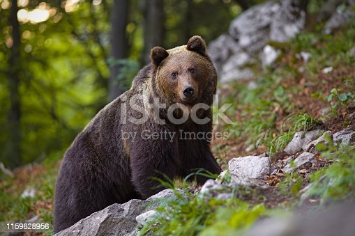 Dominant brown bear, ursus arctos standing on a rock in forest. Massive male mammal in woods. Dangerous animal.