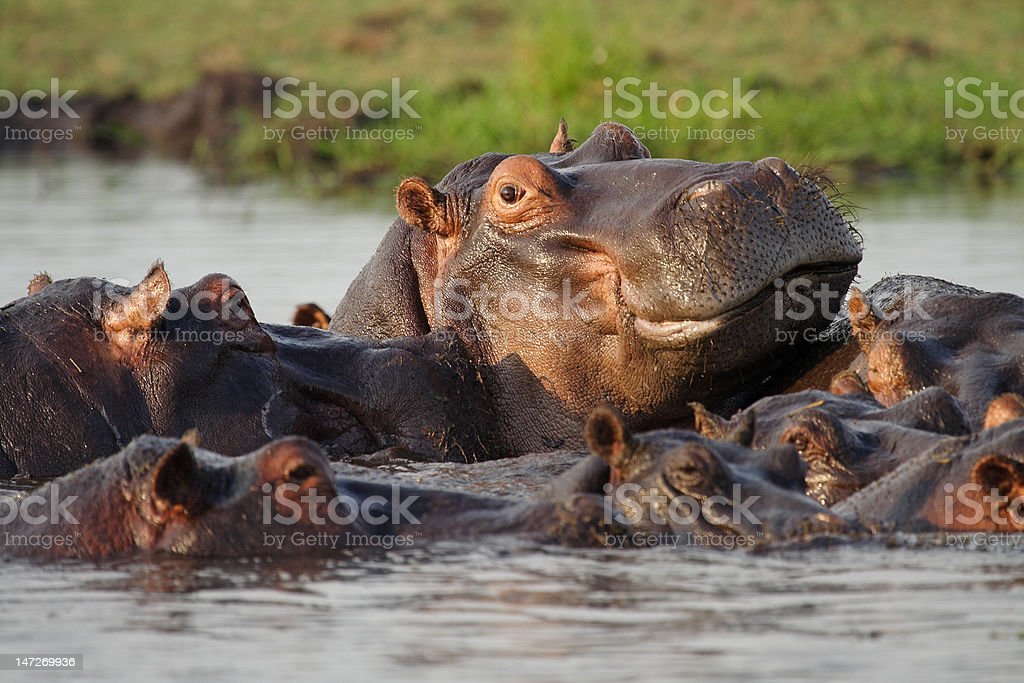 Dominant hippo male overlooking his neighborhood stock photo