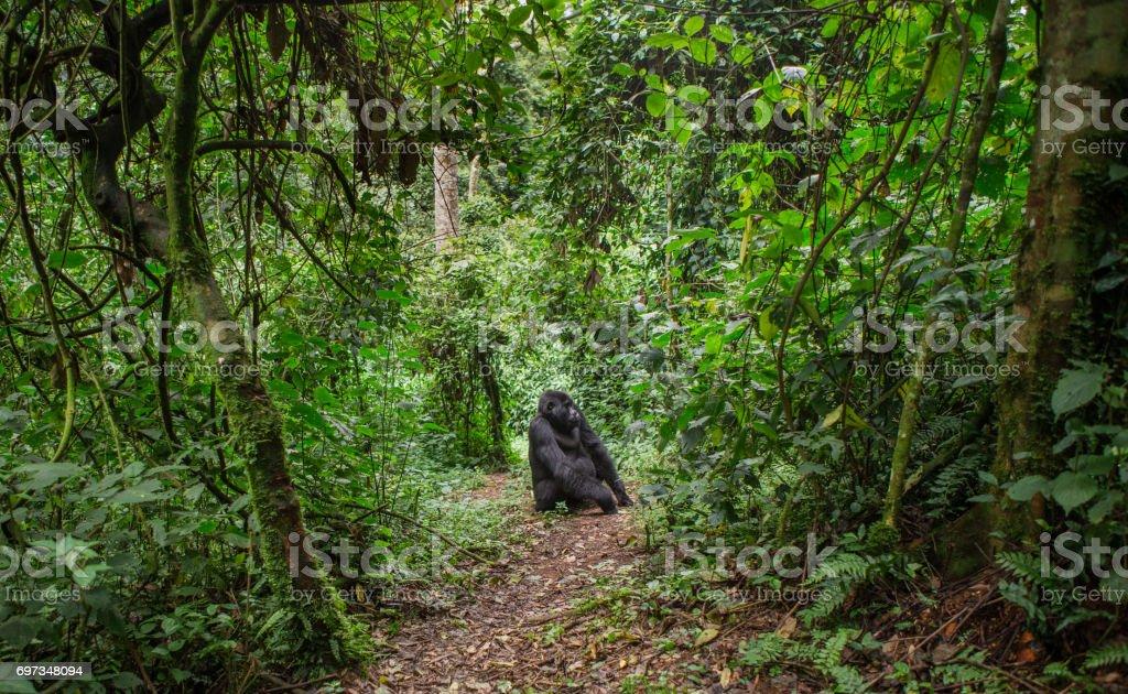 Dominant male mountain gorilla in rainforest. Uganda. Bwindi Impenetrable Forest National Park. stock photo