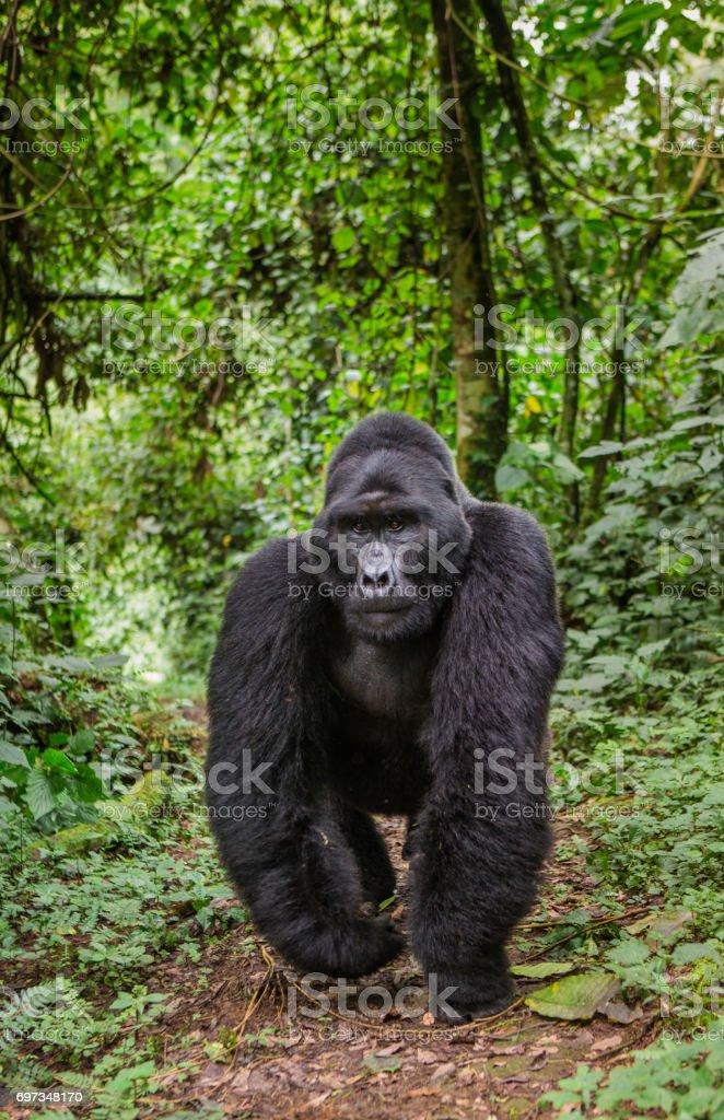 Dominant male mountain gorilla in rainforest. Uganda. Bwindi Impenetrable Forest National Park. royalty-free stock photo