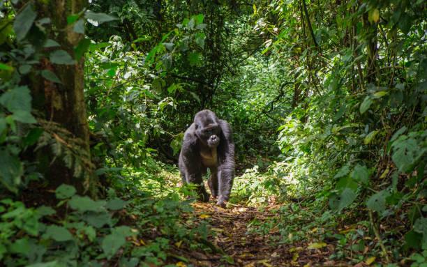 gorila macho dominante de la montaña en la selva. uganda. bwindi impenetrable parque nacional del bosque. - gorila fotografías e imágenes de stock