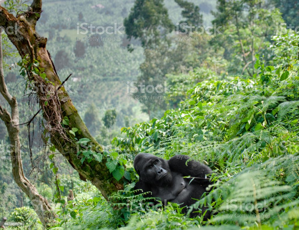 Dominant male mountain gorilla in the grass. Uganda. Bwindi Impenetrable Forest National Park. royalty-free stock photo