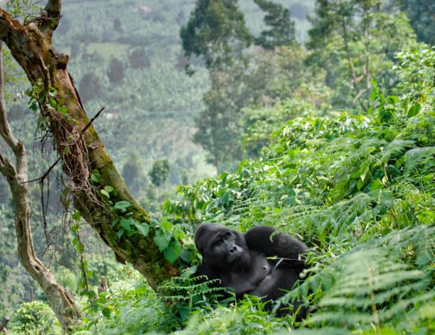 gorila macho dominante de la montaña en la hierba. uganda. bwindi impenetrable parque nacional del bosque. - gorila fotografías e imágenes de stock