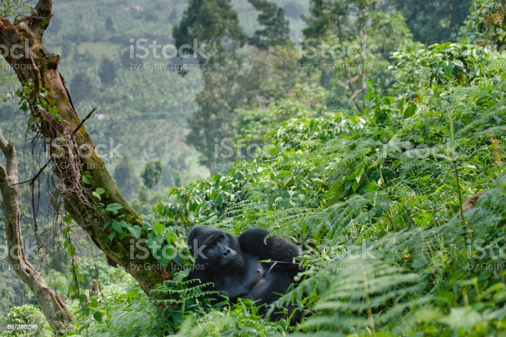 Dominant male mountain gorilla in the grass. Uganda. Bwindi Impenetrable Forest National Park. stock photo
