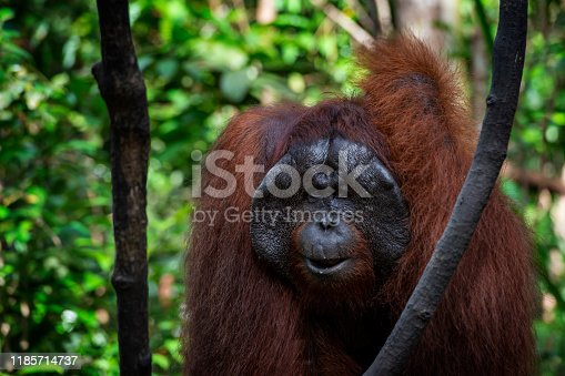 A dominant male Bornean orangutan (Pongo pygmaeus) in the jungle of Borneo.Orang Utans are critically endangered, mostly because their habitat has decreased rapidly due to logging, forest fires and the conversion from tropical forests into palm oil plantations.