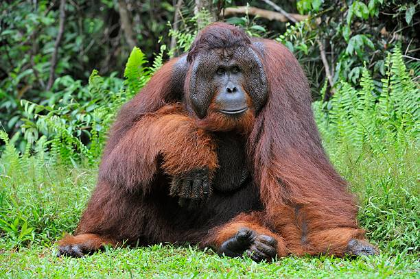 Dominant male orangutan The adult male of the Dominant male orangutan with the signature developed cheek pads that arise ( testosterone surge). Background dark green foliage in the wild nature. Borneo. Indonesia. orangutan stock pictures, royalty-free photos & images
