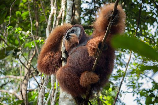 Foto de Orangotango Macho Dominante Grita Sentado Em Uma Árvore Na ...