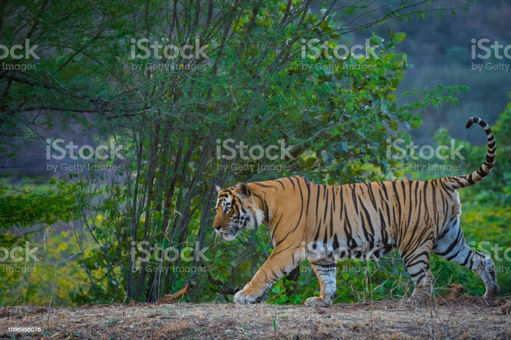A Dominant Male Tiger From Ranthambore Tiger Reserve Roaming