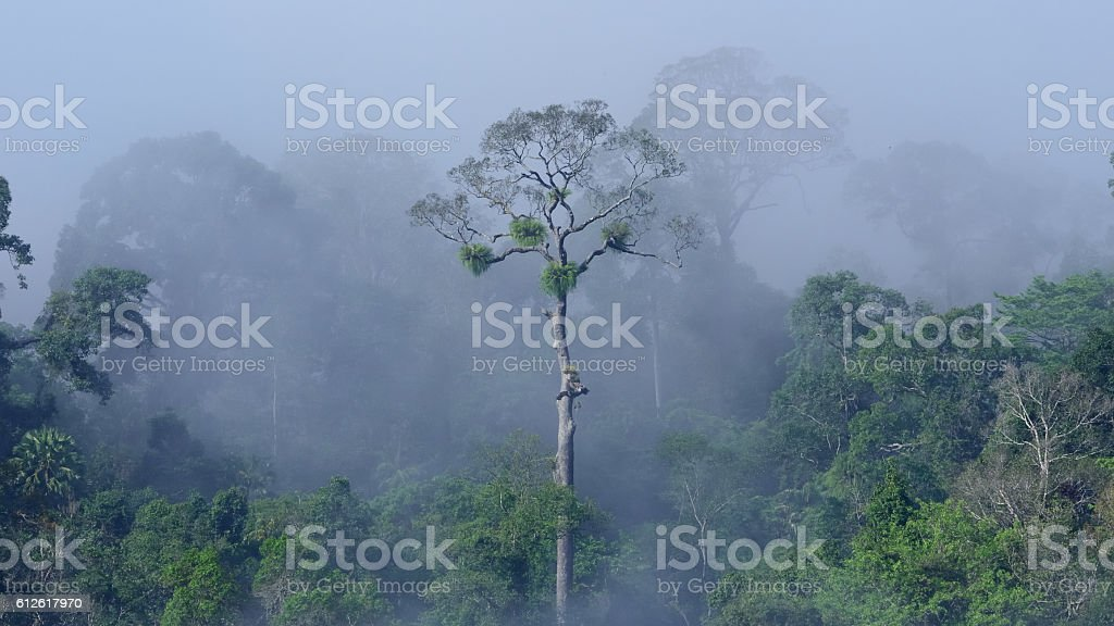 dominant stand in tropical evergreen forest,Borneo Malaysia stock photo