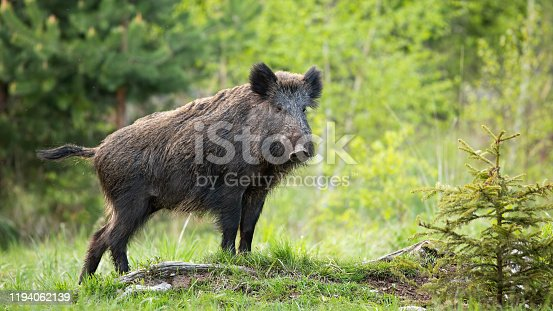 istock Dominant wild boar displaying on a hill near little spruce tree. 1194062139