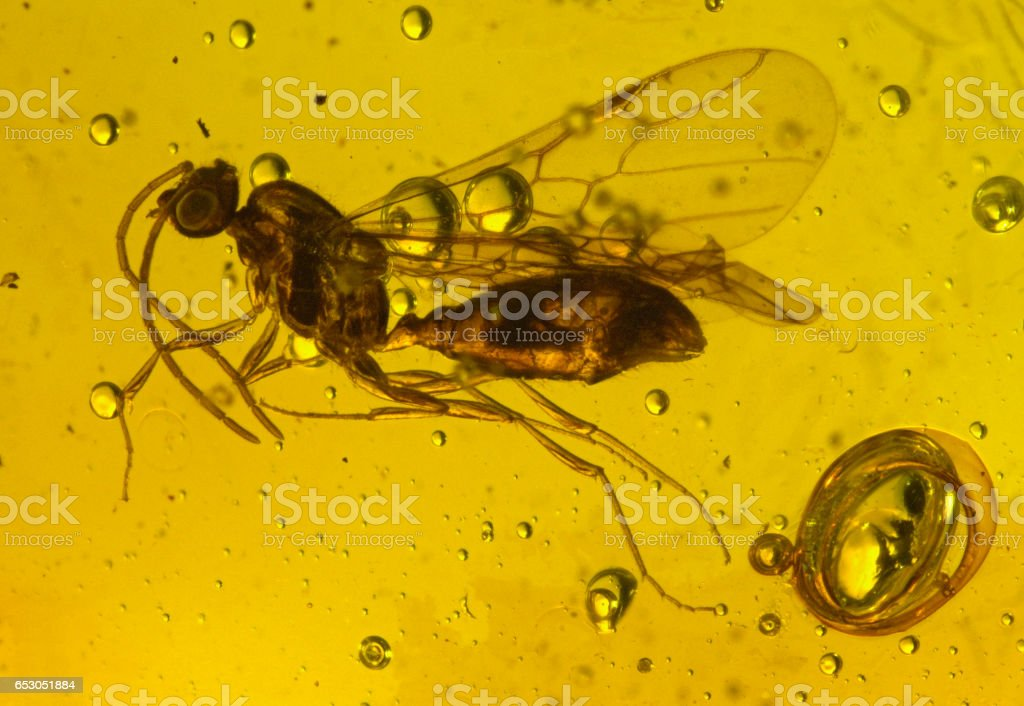 Dominican Amber Fossil Inclusion Wasp Hymenoptera - foto stock