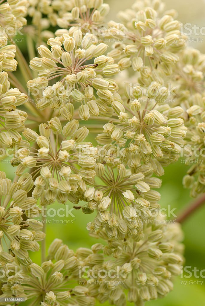 Dongkuai / Dong Quai (Chinese Angelica sinensis) stock photo