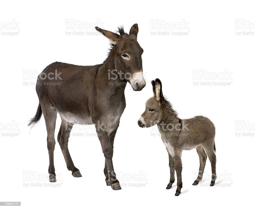 Esel und seine Fohlen vor weißem Hintergrund. – Foto