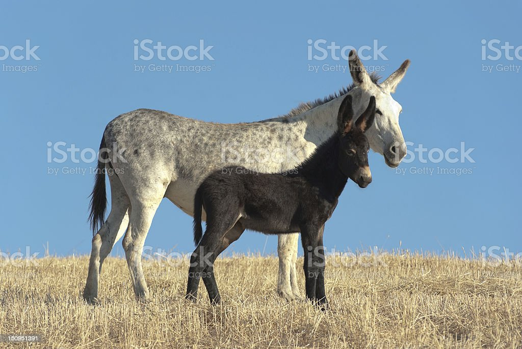 Donkey And His Foal royalty-free stock photo