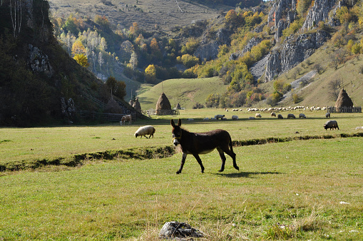 Donkey and sheeps in the pasture