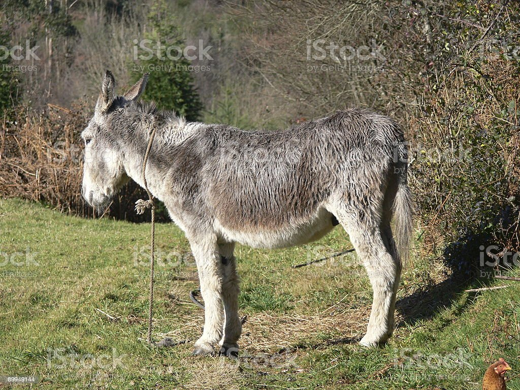 Donkey and the guest royalty-free stock photo