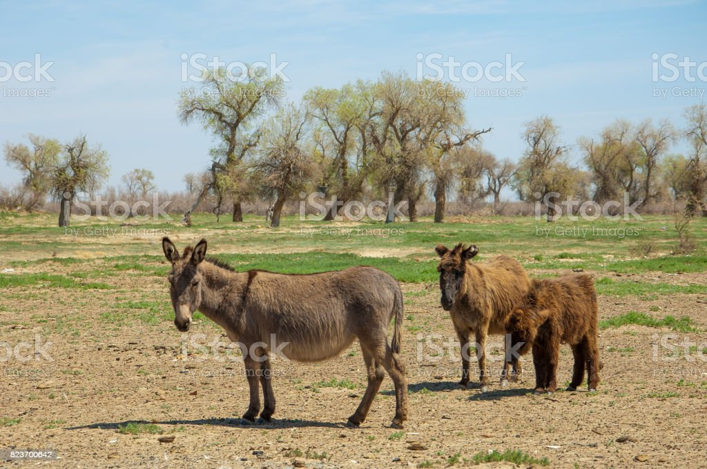 donkey, ass, jackass, goat, moke, neddy, burro, neddy stock photo