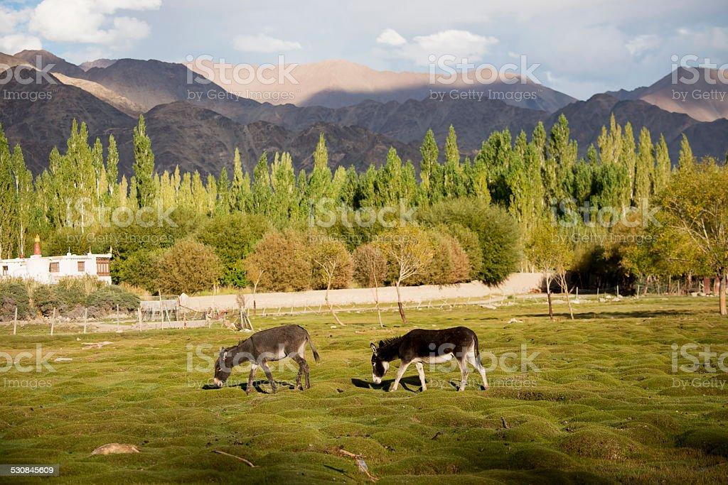 donkey at Shey palace Leh Ladakh ,India stock photo