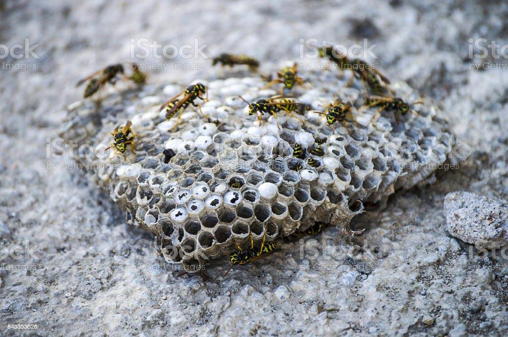 eselbiene wildbienen nest der esel bienen gef hrliche giftige bienen wilde esel bienen waben. Black Bedroom Furniture Sets. Home Design Ideas