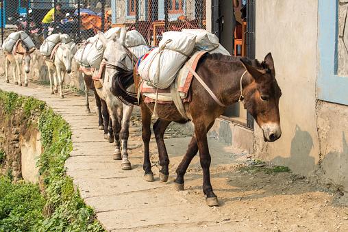 Donkey caravan in Nepal.