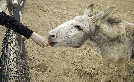 Donkey  carrots farms