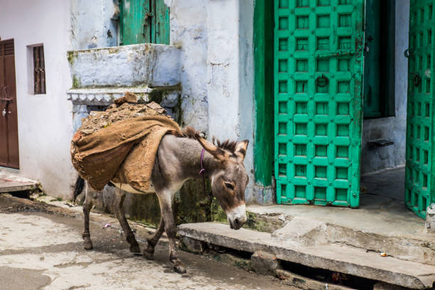Donkey carrying concrete construction rubble. Donkey carrying concrete construction rubble through the narrow streets of the old town of Udaipur. Just passing a bright green colored open door. working animal stock pictures, royalty-free photos & images