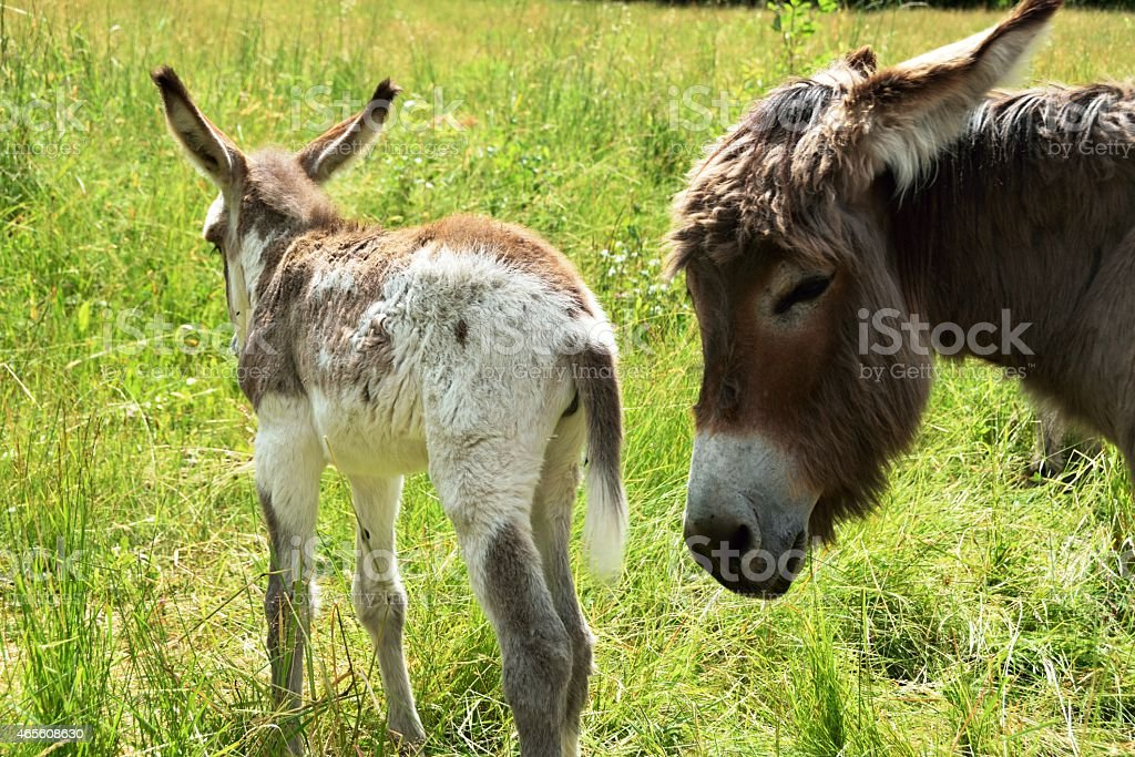 Donkey curious on green meadow in Italy stock photo