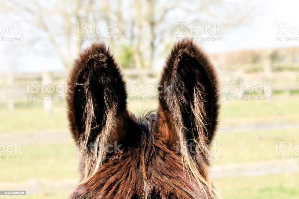 Donkey ears stock photo