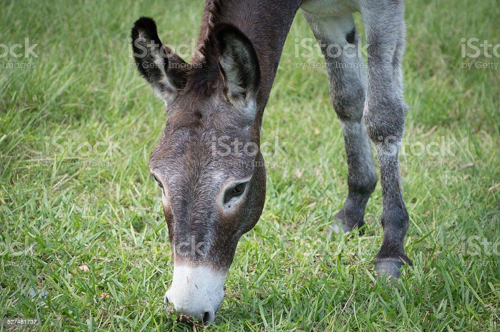 Donkey eating grass stock photo