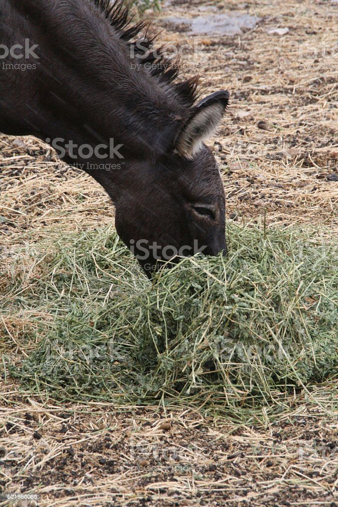 Donkey Eating Hay stock photo
