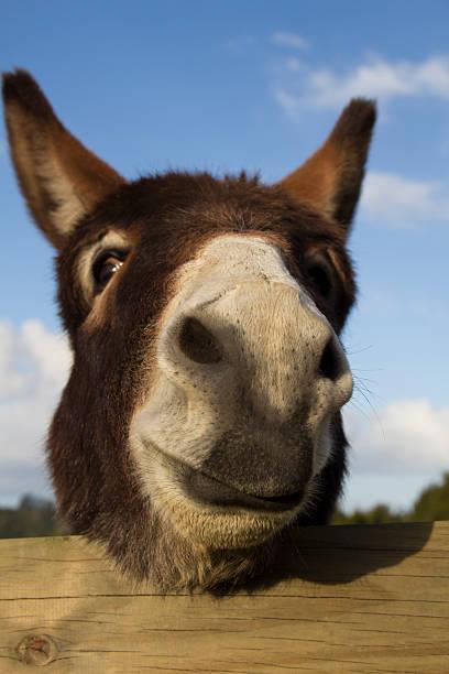 Donkey Face stock photo