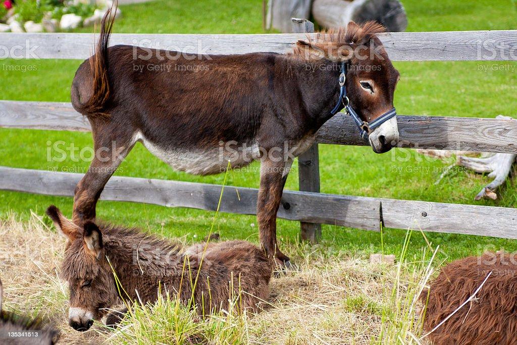 donkey family next too fence royalty-free stock photo