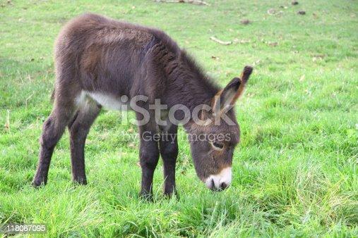 istock Donkey foal grazing 118067095