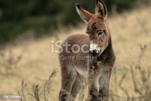 istock Donkey foal on the pasture 1087292864