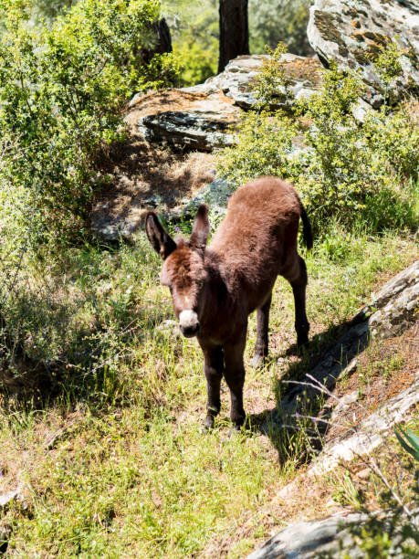 Donkey foal on the pasture Colt looking at he camera foal young animal stock pictures, royalty-free photos & images