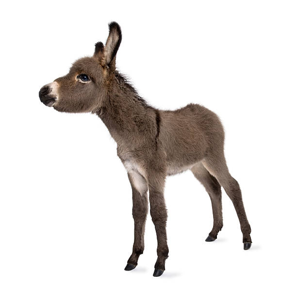 Donkey foal (2 months)  foal young animal stock pictures, royalty-free photos & images