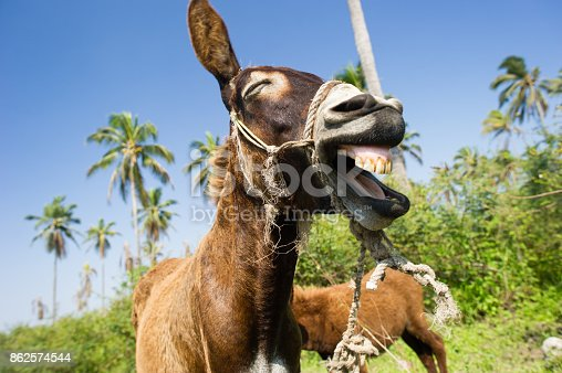 istock Donkey Funny Animals 862574544