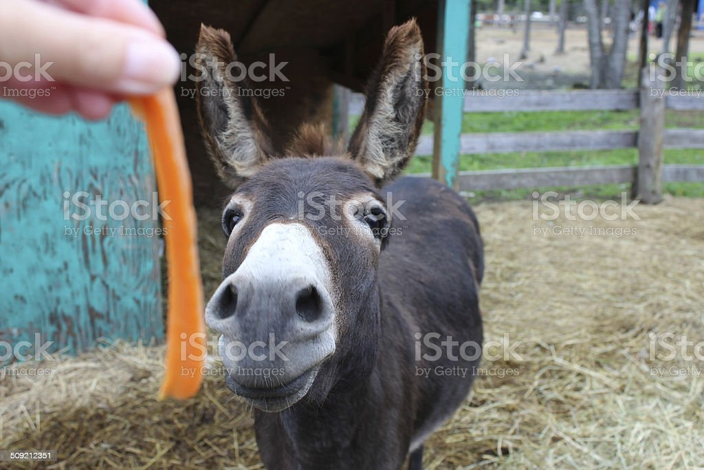 Donkey Funny Face Reaching for Carrot stock photo