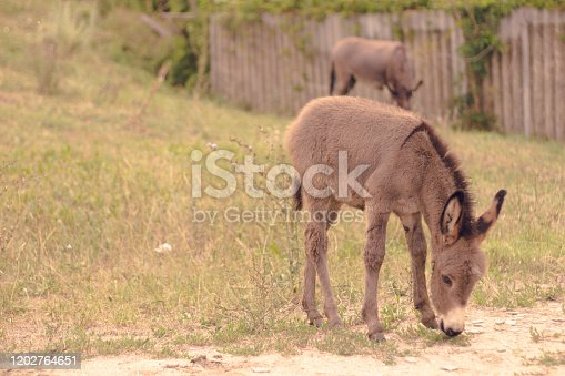 donkey grazes on the grass with mom donkey. the idea of caring for pets and rural life