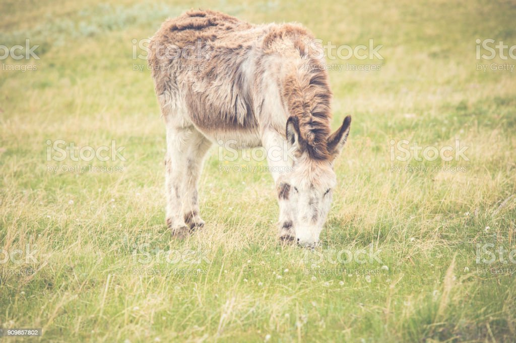 Donkey grazing in a grassy pasture on a Montana ranch stock photo