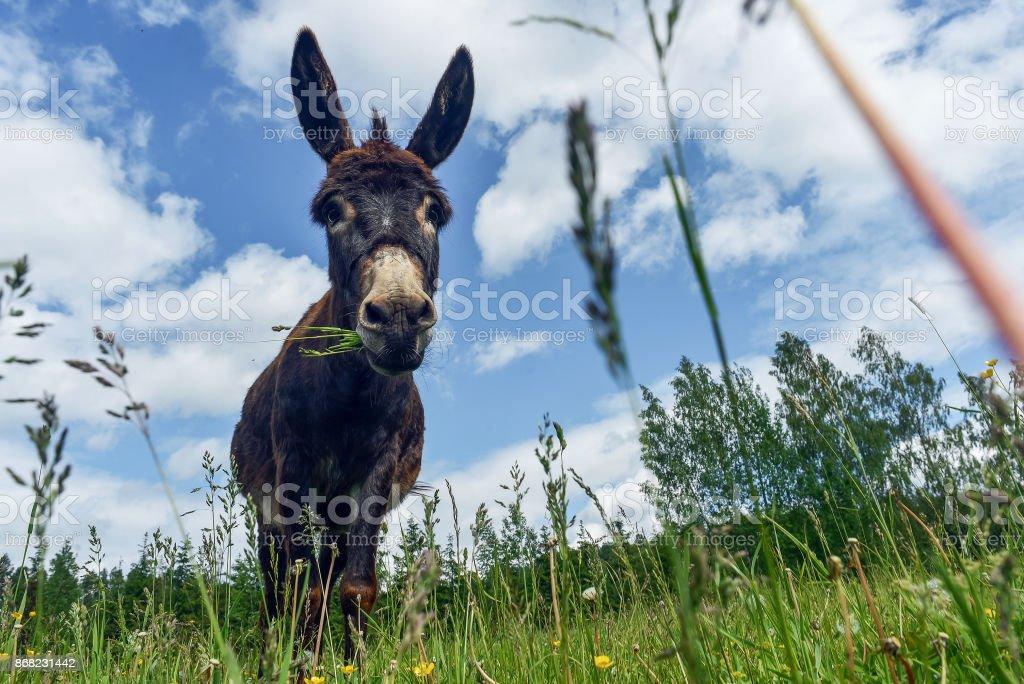 Donkey grazing in field day stock photo