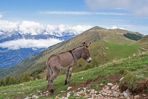 Donkey grazing on a lonely mountain meadow