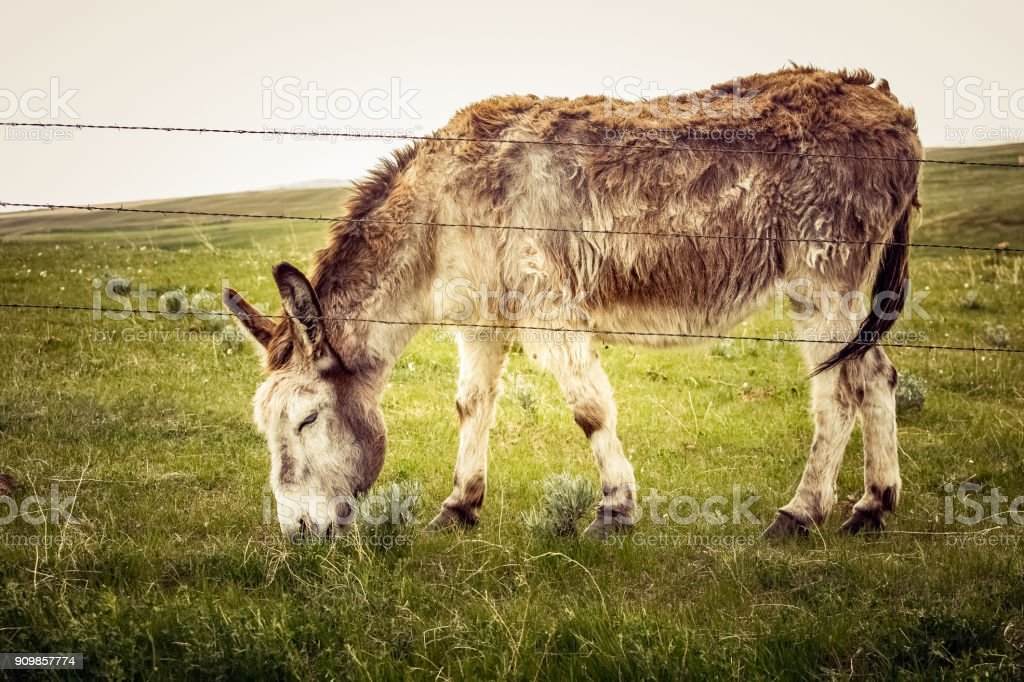 Donkey grazing on green grass behind a barbed wire fence stock photo