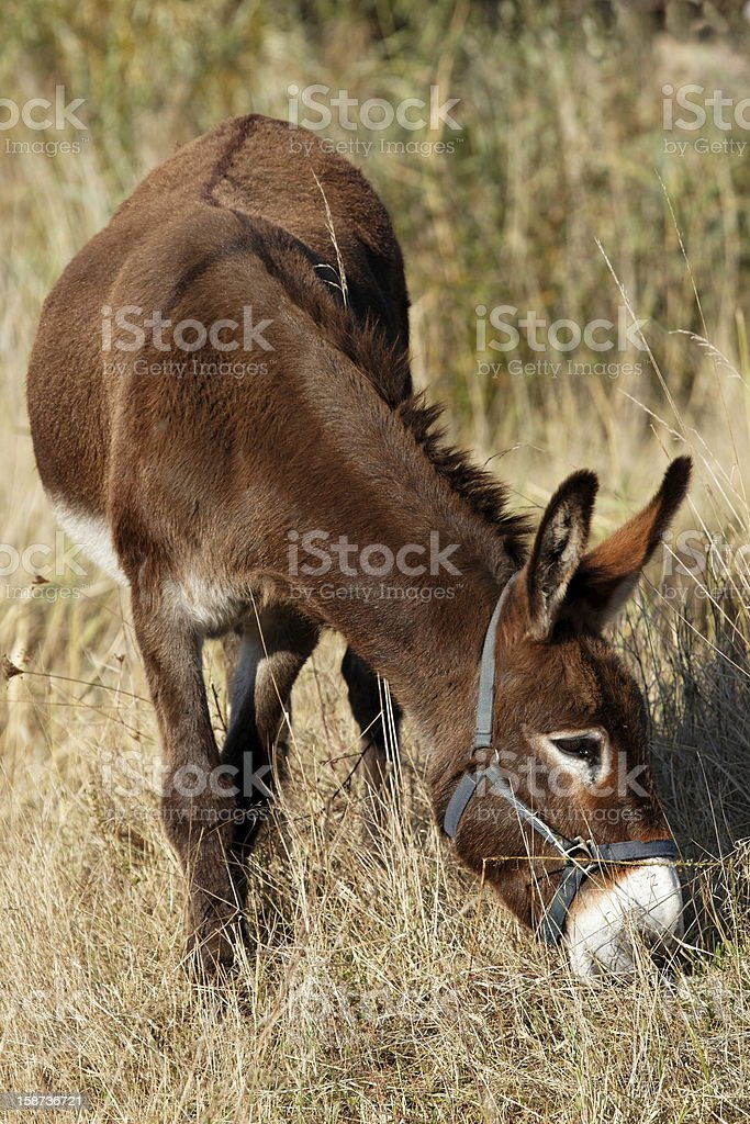 Donkey grazing stock photo