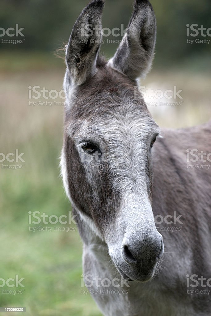 Donkey head closeup royalty-free stock photo